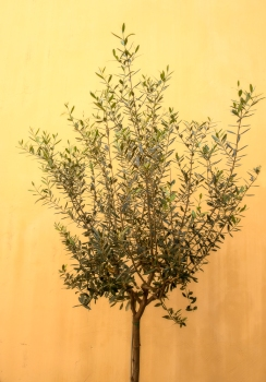 Olive wall