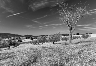 The Olive grove and the tree