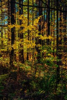 Vermont yellow mellows