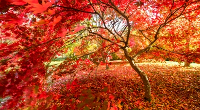 Acers - Bodnant Gardens