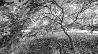 Mono Acers