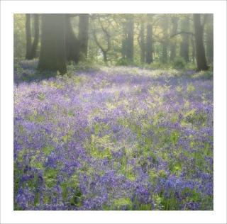 Dreaming bluebells