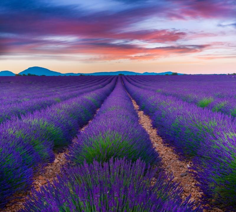 Lavender surreal