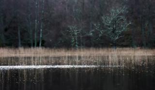 Reeds at Pityoulish