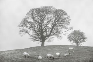 Six sheep