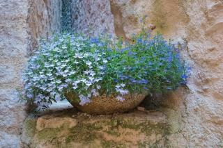 Spello flowers