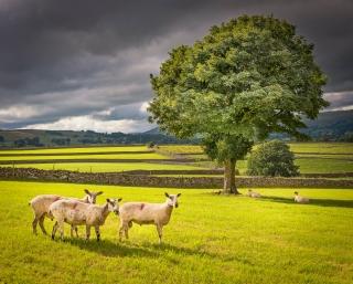 The three sheep