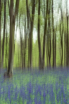 Dusty bluebells