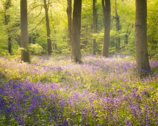 Softly through the bluebells