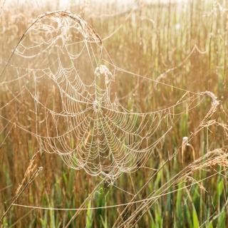 Cobweb dawn