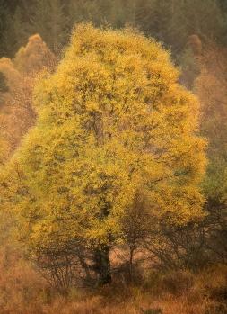 Glen Shiel birch