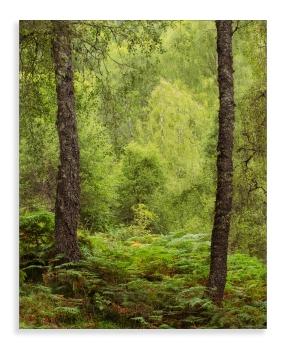 Craigellachie woods