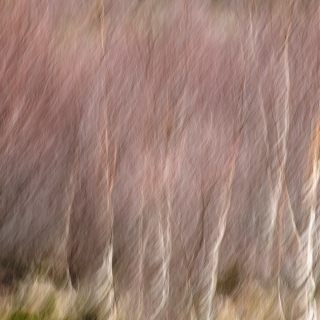 Birch trees blow