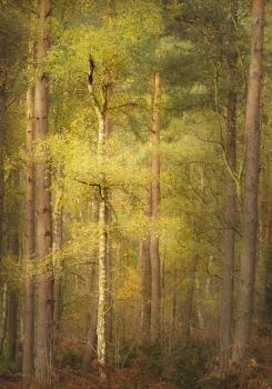Coomb woods Cumbria