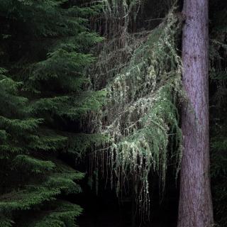 Lichen in cawdor woods