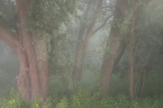Trunks in dawn mist