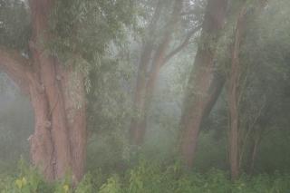 Trunks in dawn mist