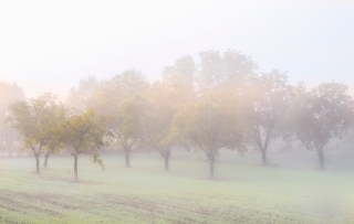 Walnut trees in the mist