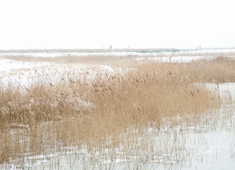 River reeds 8450