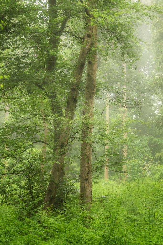 Mist in Reedham woods