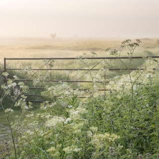 May cow parsley