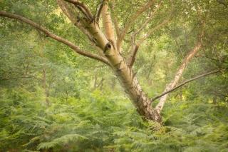 Walberswick summer woodland