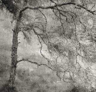 Tumbling birch